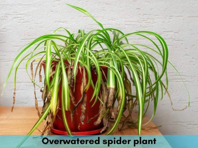 Overwatered spider plant - how to save it