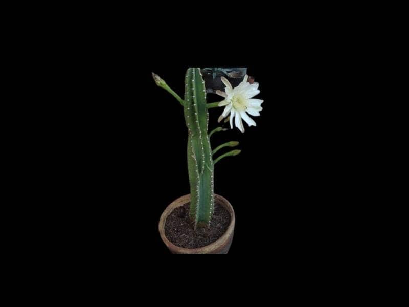 Cereus repandus blooms