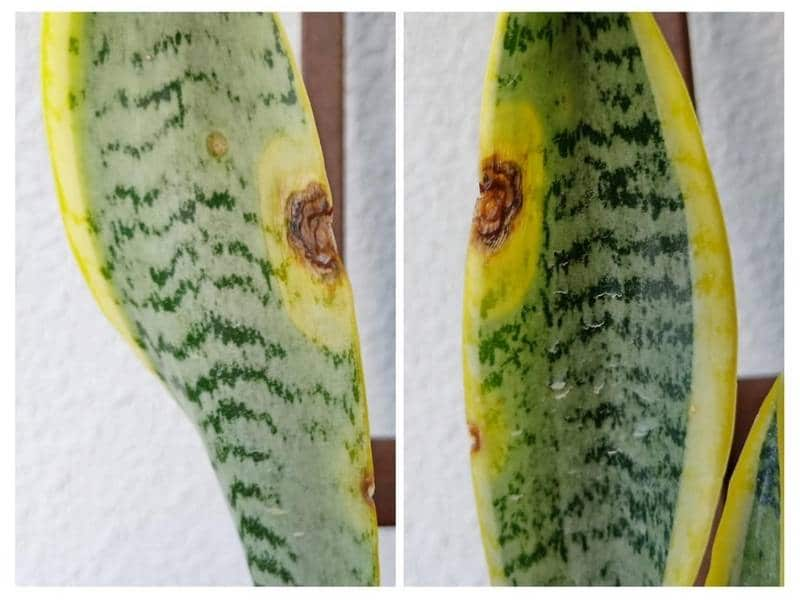 Snake plant fungal problems