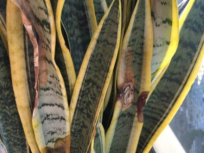 Underwatered Snake Plant