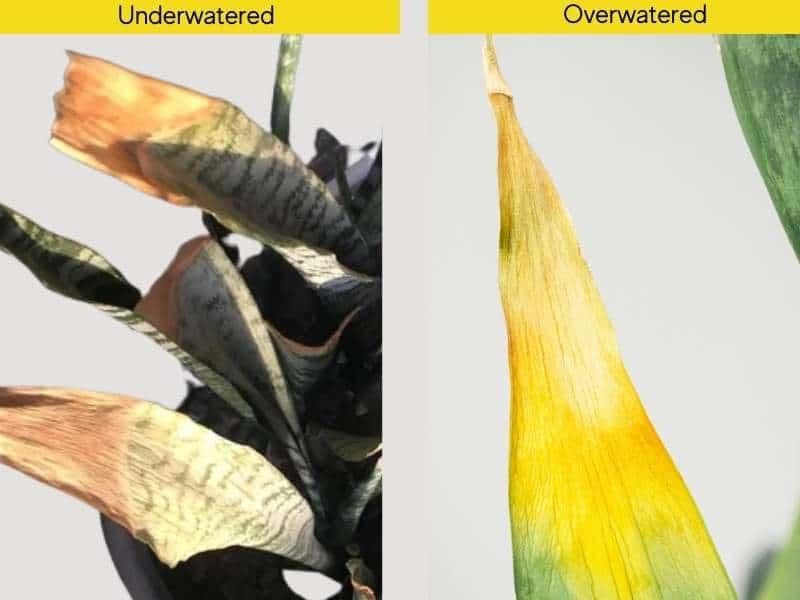 Underwatered vs overwatered snake Plant