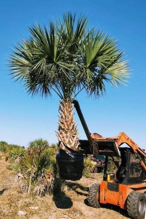 Sabal Palm Tree (cabbage palm)