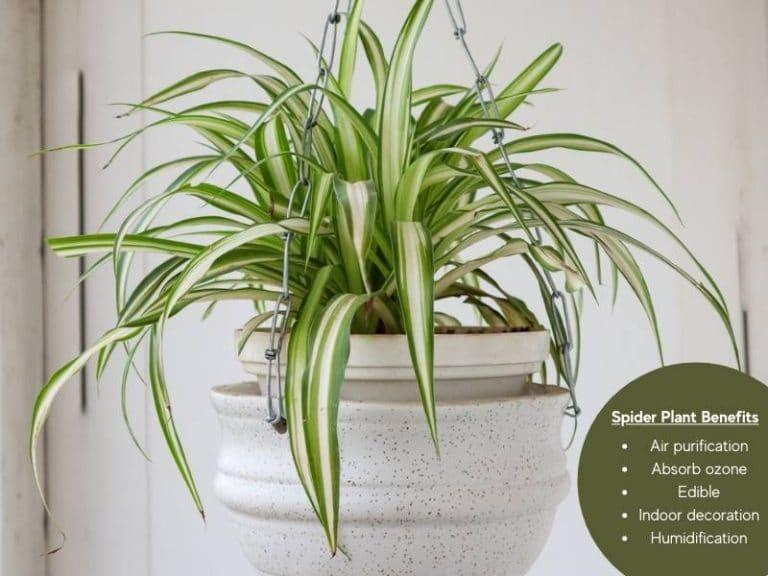 spider plant benefits
