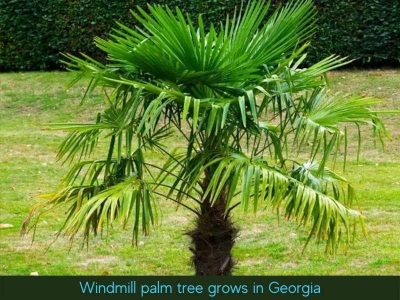Windmill palm tree also grows in Atlanta
