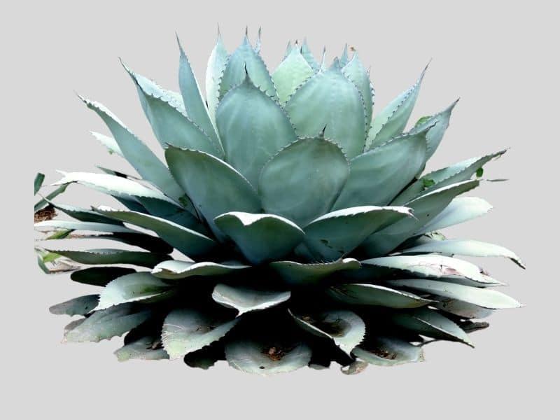 Agave succulent looks like aloe vera