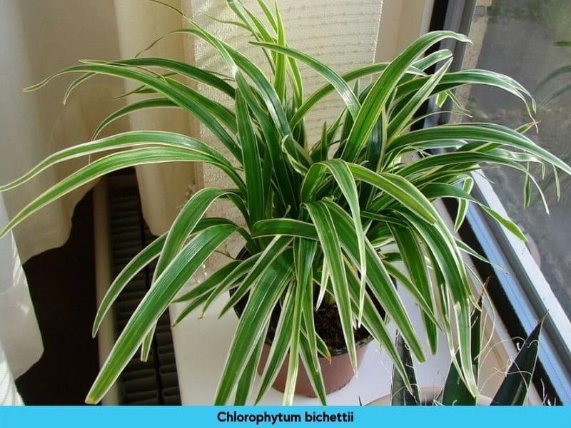 Chlorophytum bichettii
