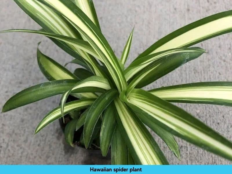 Hawaaian spider plant