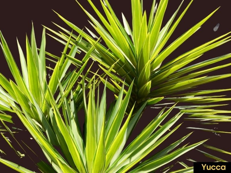 Yucca plant - plants that look like aloe vera