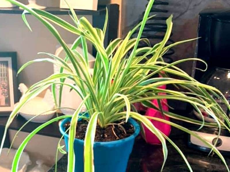 spider plant leaves turning yellow