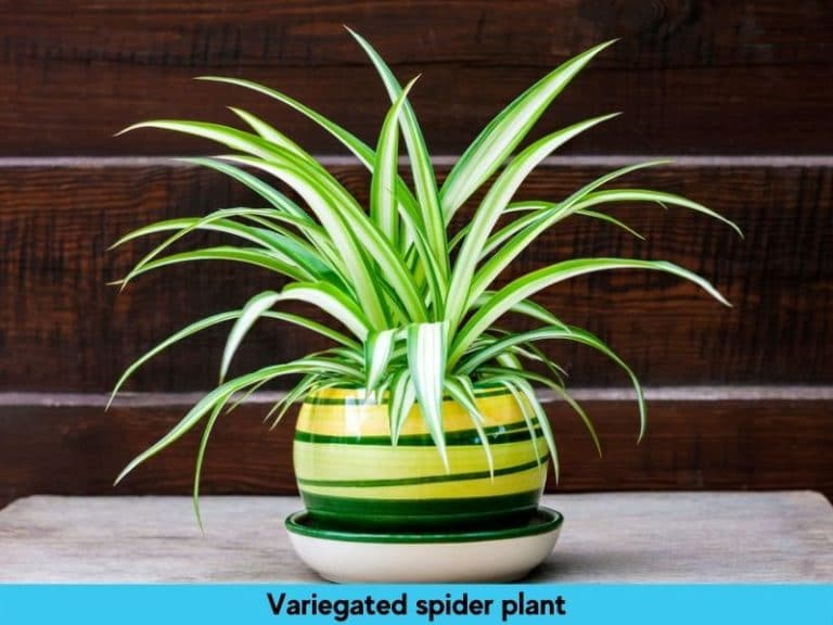 variegated type of spider plant