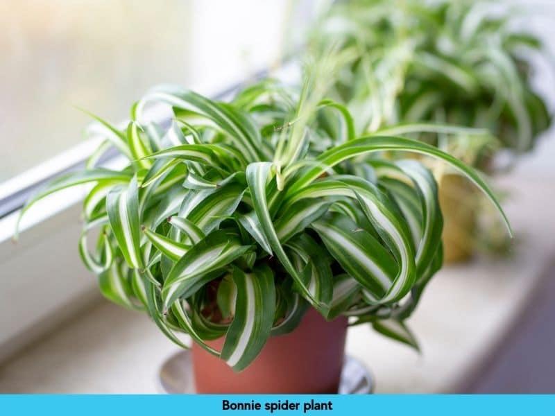 zebra spider plant