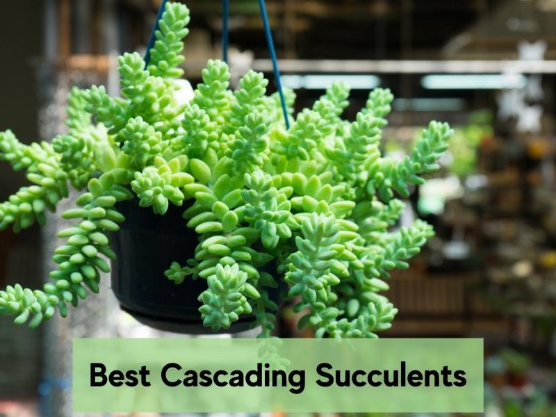 Best cascading succulents